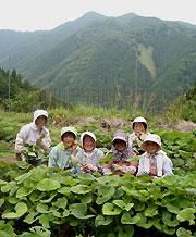 三岳でフキ栽培