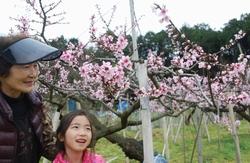 8分咲きの桃の花
