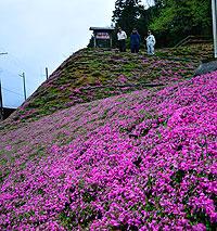 斜面に咲き始めたシバザクラ