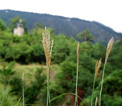 大江山の初夏のススキ