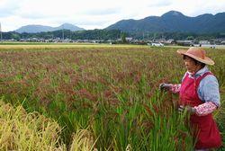 穂が赤く色付いた赤米