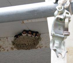 巣から顔を出すツバメの子