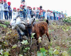 堤防に放された2頭のヤギ