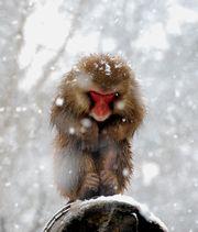 雪の中のボスザル