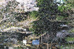 花びら舞う三段池公園