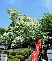 純白の花を咲かせたナンジャモンジャ