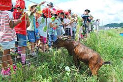 のり面に放されたヤギと触れ合う園児たち
