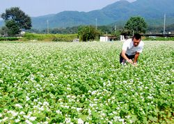 ソバの花を見る田中さん