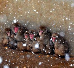 猿ケ島のサル