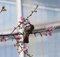 桜の蜜を吸う野鳥