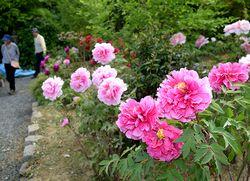ボタン園で大輪の花