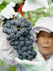 三和ぶどうの収穫