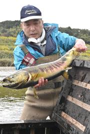 由良川のサケ